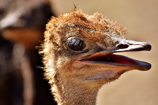 Caracteristicas De Los Avestruces Avestruzpedia