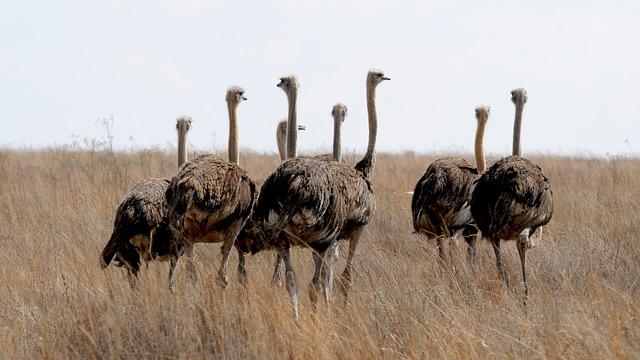 Anatomía del avestruz » AVESTRUZPEDIA